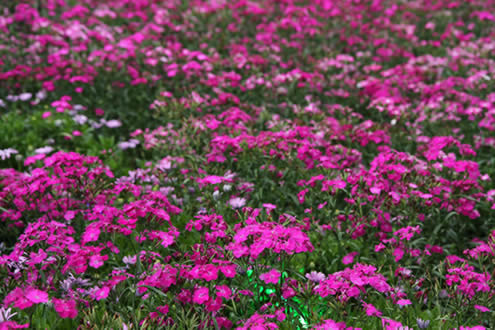 Field of Pink Dianthus
