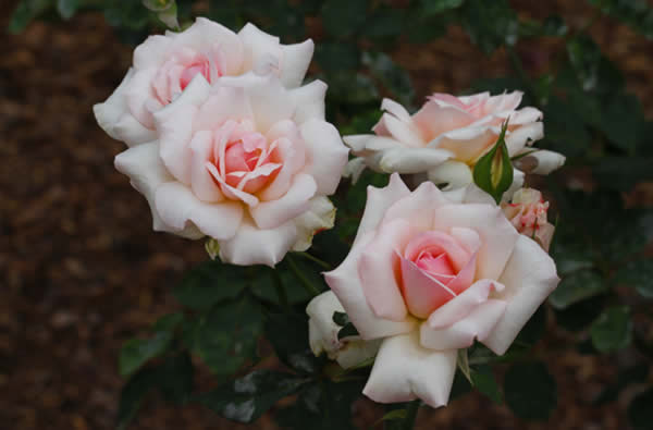 soft pink colored roses